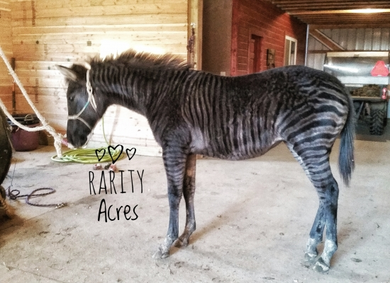 Zebra stud Service, Zorses and Zonkeys