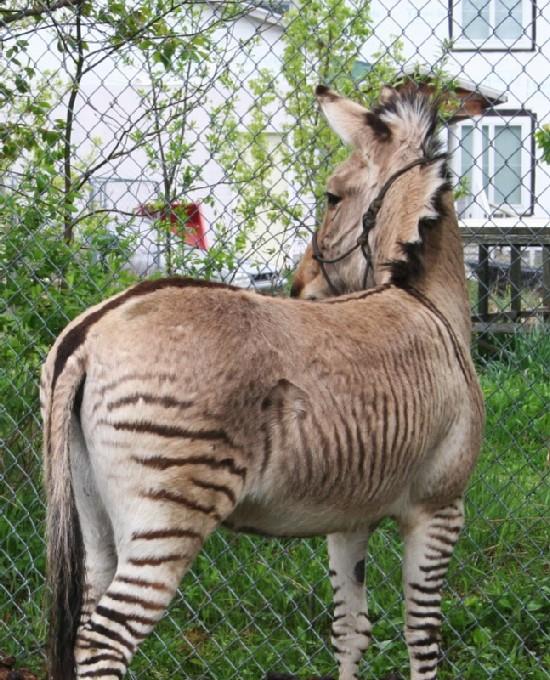 Zorse For Sale >> Zebra Stud Service Zorses And Zonkeys